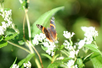 Red Admiral_CMO_0301