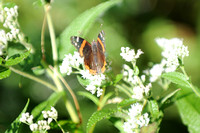 Red Admiral_CMO_0298